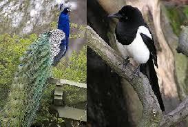 انشا درمورد طاووس و زاغ