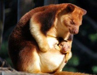 کانگورو درختی و پستاندار بزرگ جهان