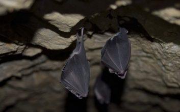 خاصیت لانه خفاش و محل زندگی آنها