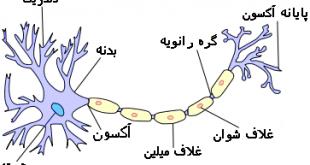 تحقیق درمورد سلول های پشتیبان بافت عصبی