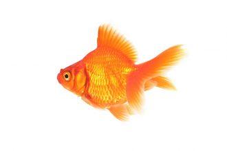 غذای ماهی قرمز