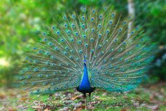 نحوه جفت گیری طاووس ها