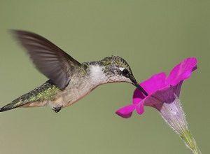 جانورانی که به گرده افشانی گل ها کمک می کنند