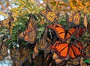 تحقیق درمورد زندگی پروانه ها