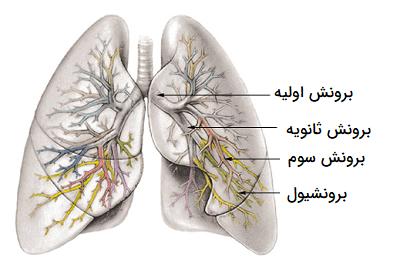 مقاله درباره ریه و سیستم تنفسی